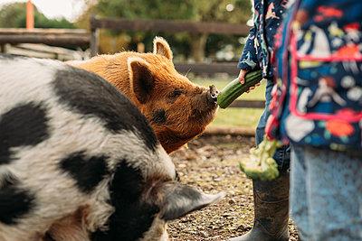 children feeding pigs at Avon Valley wildlife park