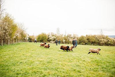 people herding sheep in a field