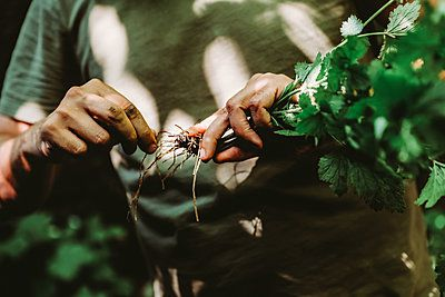 hands holding pulled up herbs with roots
