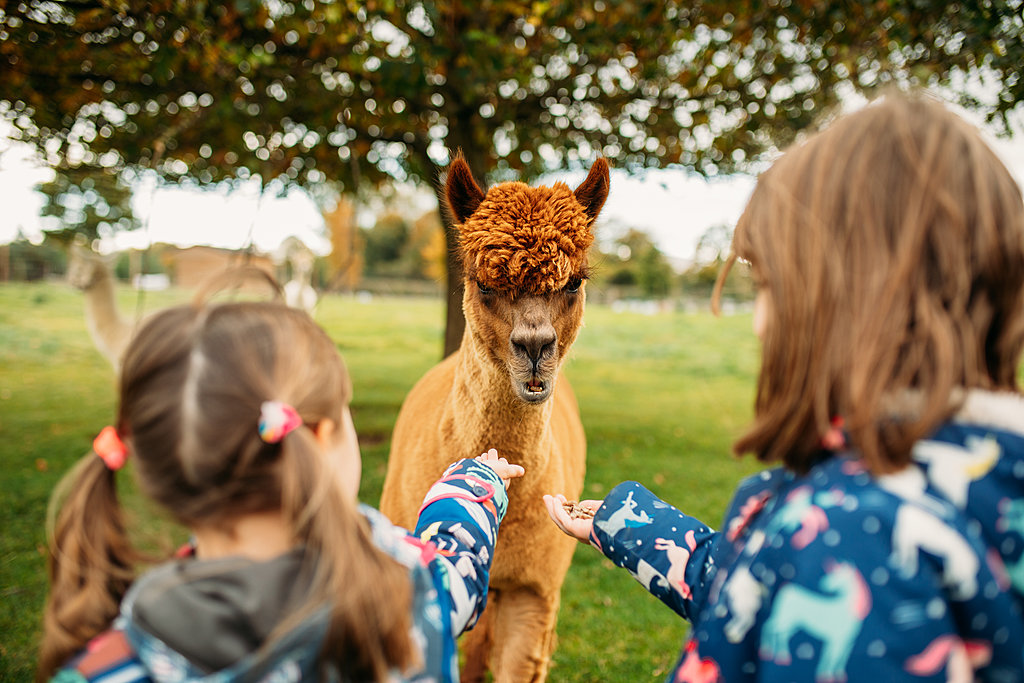 Walk with alpacas