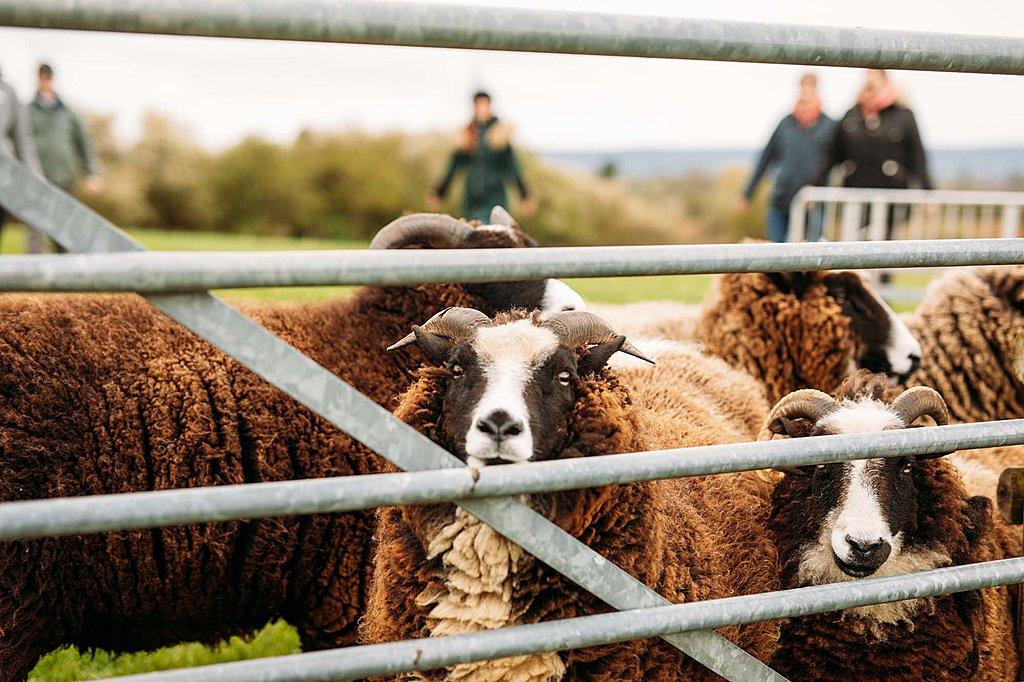 Sheep herding and wool spinning